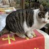 西安一岁胖猫免费领养