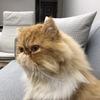 求真心爱猫儿人士领养我家加菲宝宝