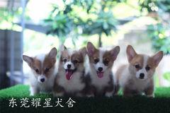 :耀星犬舍的柯基宝宝,我们来自广东东莞