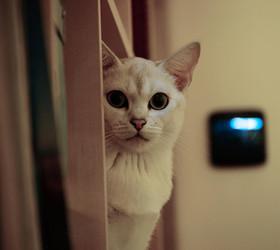波米拉猫|博美拉猫