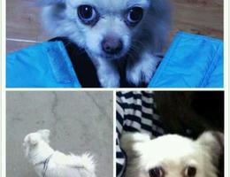 天津河西小海地3.15日跑丢的一直白色狗狗