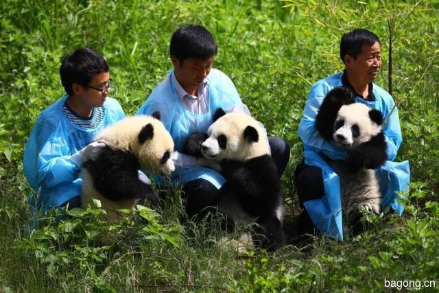 世界上最容易被抱大腿的工作:熊猫驯养师。19