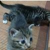 即将满月的小猫免费赠养,爱猫人士速进