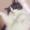 猫咪是蓝白英短,叫嗷呜,喊它呜...