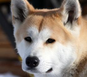 秋田犬|日本狼青,秋田,日本秋田