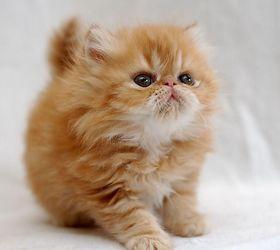 山东狮子猫|临清狮子猫|中国大白猫
