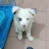 小边牧,希望有时间有爱心的爱狗人士可以领养