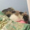 一只胖花猫需要靠谱善良的人领养