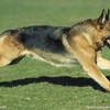 大型犬幼崽送养