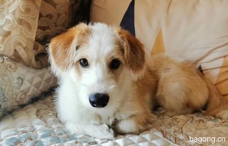 东莞狗狗领养_活泼可爱柯基串串找一个愿意收养他的家庭_领养狗狗