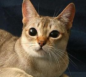 新加坡猫|阴沟猫|下水道猫