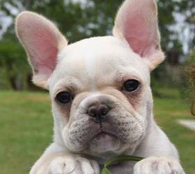法国斗牛犬|法斗,法兰西斗牛犬,法国老虎犬
