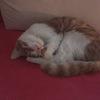 八个月小橘猫免费领养
