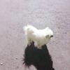 家中一只白色博美成犬求赠好心人