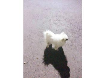 家中一只白色博美成犬...