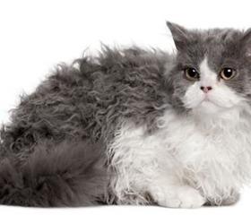 塞尔凯克卷毛猫|斯可可猫|塞尔凯克猫