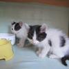 黑白小双奶猫求领养