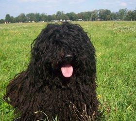 波利犬|匈牙利波利犬,波利牧羊犬