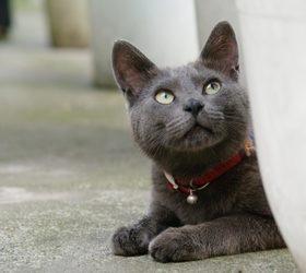 柯拉特猫|考拉特猫|呵叻猫|银猫