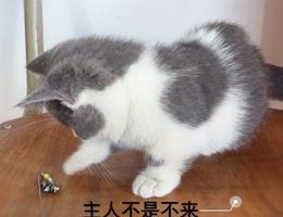 自家繁殖的小短腿蓝白喵喵,找新...