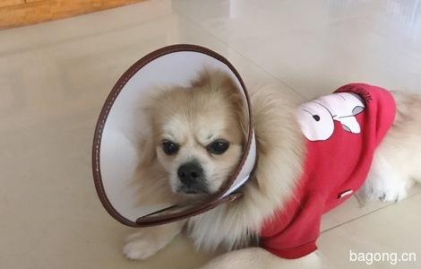 丢失时穿着红色狗仔衣服,比较小...