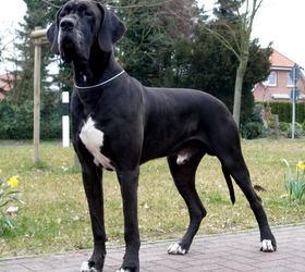 大丹犬|大丹,德国猛犬,德国马士