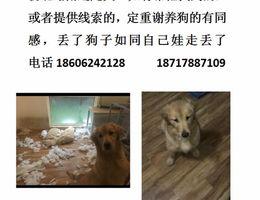 寻狗启示,七个月母金毛,3月15...