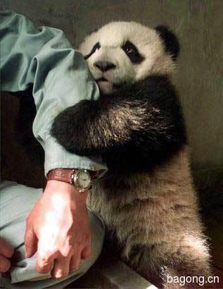 世界上最容易被抱大腿的工作:熊猫驯养师。5