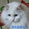 漂亮可爱喵咪找家——蓝眼睛小白小橘浅咖啡小狮子