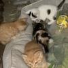 小区的小猫,寻找新主人,两个橘猫一个戴帽一个黑白公母都有