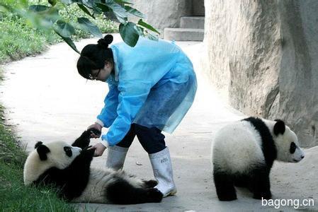 世界上最容易被抱大腿的工作:熊猫驯养师。21