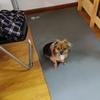 捡到一只蝴蝶犬串串,本人无力收养,希望好心人可以收留。