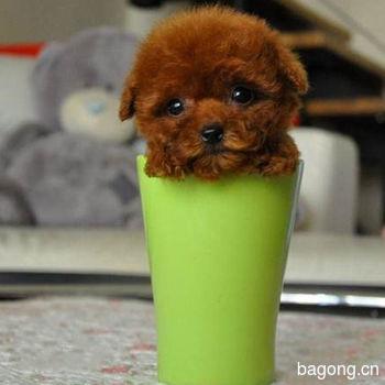 茶杯犬小巧可爱,成为了众贵宾爱好者的新宠