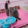 上海家养英短蓝猫妹妹
