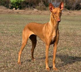 法老王猎犬|科博特菲勒犬,猎兔犬