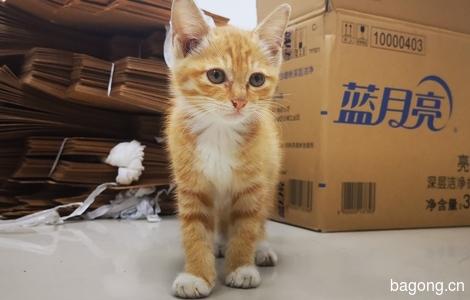 两只纯橘猫已被领养 还有四只奶猫 随后传照片0