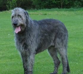 爱尔兰猎狼犬|