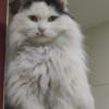 寻猫启示 特征:长毛猫;嘴角处...
