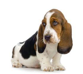 巴吉度犬|巴塞特猎犬,巴吉度猎犬