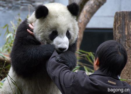 世界上最容易被抱大腿的工作:熊猫驯养师。9