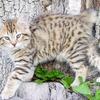 美国短尾猫