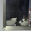 田园猫特别粘人可爱亲人 也特别特别听话