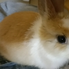 一只可爱侏儒兔求领养