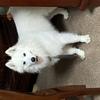 这是一只2岁的萨摩,名字叫小白...
