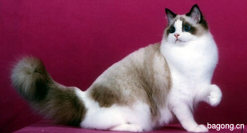 教您快速辨别猫星人品种!!!4
