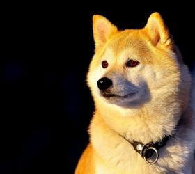 柴犬|日本柴犬,西巴犬