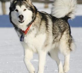 阿拉斯加雪橇犬|阿拉斯加犬,阿拉斯加,马拉缪犬