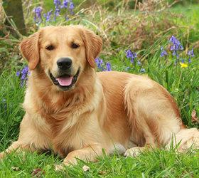 金毛犬|金毛,金毛寻回犬