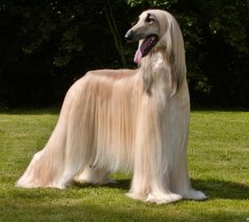 阿富汗猎犬|阿富汗犬,阿富汗,俾路支猎犬