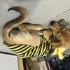 一只聪明的中华田园犬